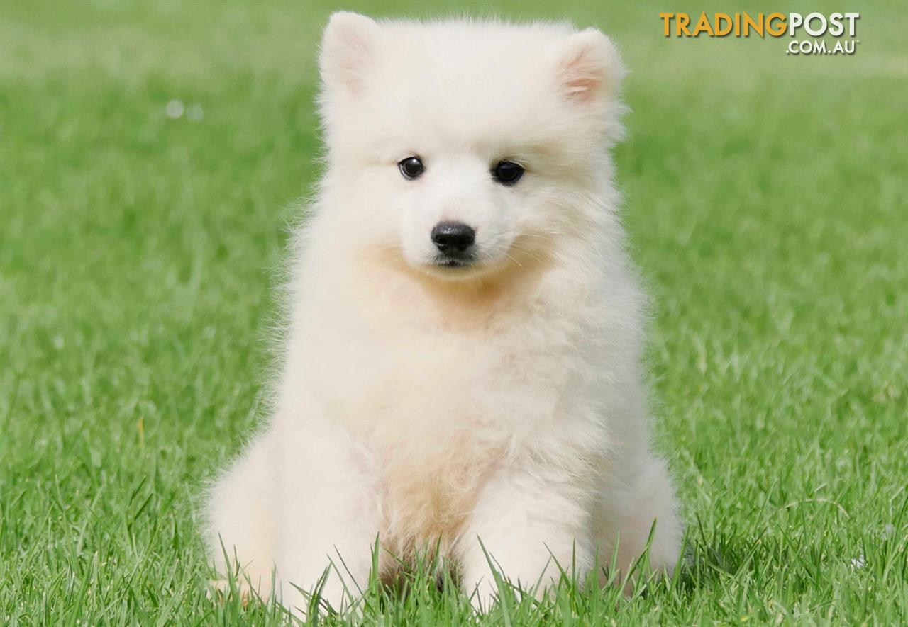 how to train your japanese spitz