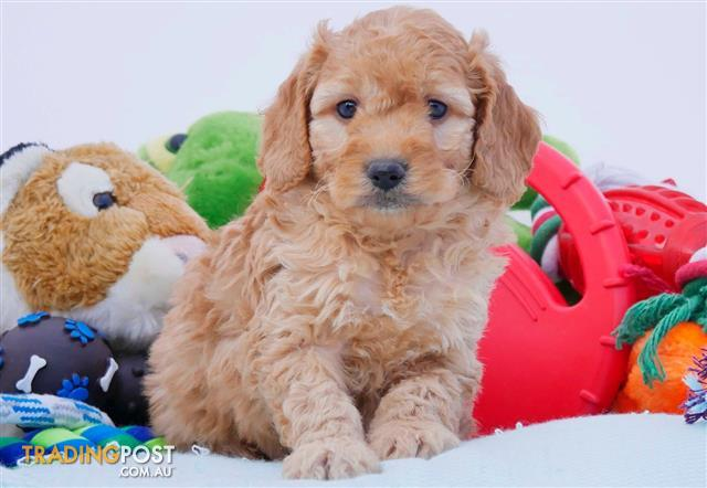 Mini Groodle Golden Retriever X Poodle Puppies Dna Health Tested