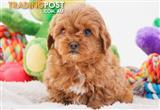 Cavoodle (Cavalier King Charles Spaniel X Toy Poodle) Puppies DNA TESTED
