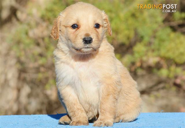 Standard Groodle (Golden Retriever x Poodle) PUPPIES for
