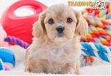 Toy Cavoodle Puppies DNA Health Tested