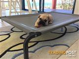 French bulldog  3/4 with 1/4 pug