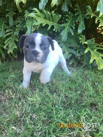 Purebred-French-Bulldog-Puppy