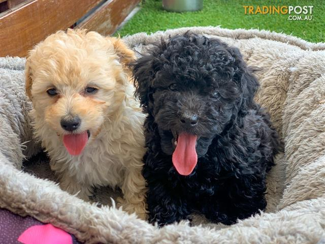 Small Toy Poodle Puppies Available For Adoption Now