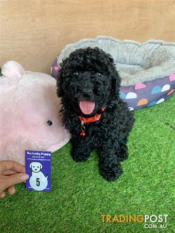 Beautiful Cavoodles Puppies Available For Adoption Two Available