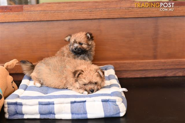 Teacup-Pomeranian-x-Toy-Poodle