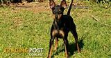 ENGLISH TOY TERRIER (black and tan) puppies pure bred with papers from registered breeder