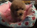 Purebred Genuine Teacup Toy Poodle Puppy (Light red girl)