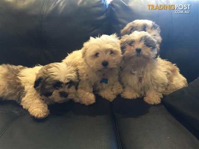 Maltese-X-Shih-Tzu-Puppies-for-Sale
