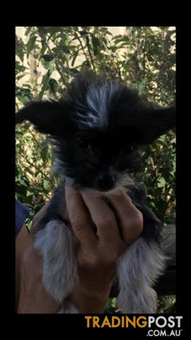 Chinese crested powder puff x chihuahua puppy's