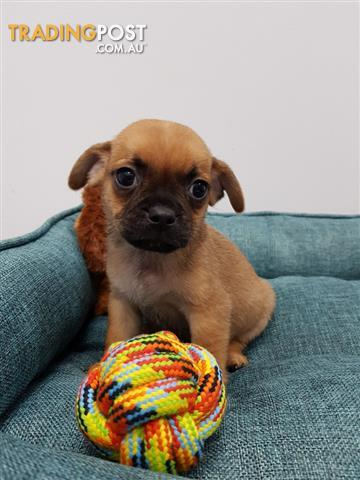 Jug-Jack-Russell-Terrier-x-Pug-Puppies-For-Sale