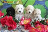 Toy Poodle Pups 3 Males 1 Female .Non Shedding
