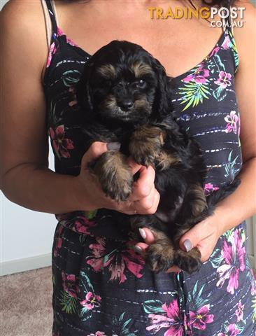 Cavoodle puppies toy poodle x cavalier male black with tan cavoodle puppies toy poodle x cavalier male black with tan markings solutioingenieria Gallery