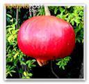 pomegranates, very healthy, full of antioxidants, $8.50 per kilo