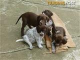 GERMAN SHORTHAIRED POINTER PUPS.
