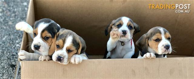 Beagle Puppies Trading Post
