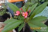 Frangipani White & Red Varieties
