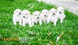 Christmas Gift: Bichon Frise X Poodle Milky White Puppy