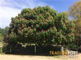 Horse Chestnut - garden tree - ornamental