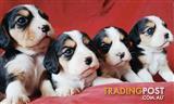 Gorgeous Beaglier pups