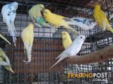 BUDGIES FOR SALE IN VARIOUS COLOURS