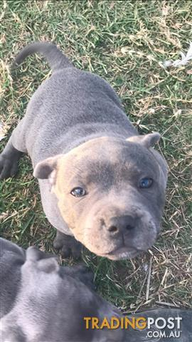 Price Drop 2 X Blue English Staffy Pups Males