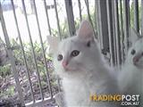 Adorable soft fluffy white kittens with colour on head and tails only