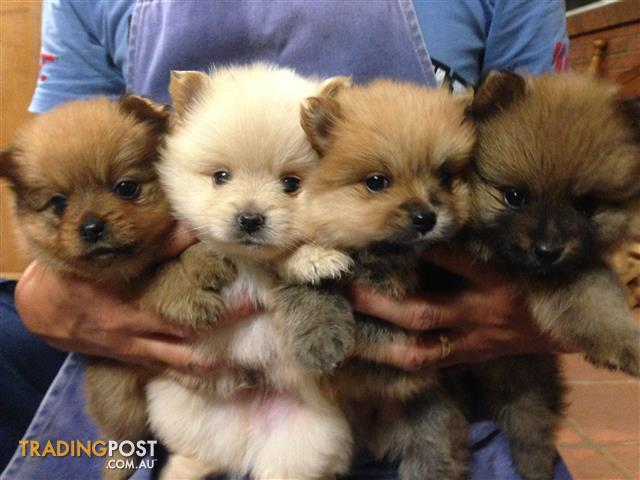 purebred pomeranian puppies purebred pomeranian puppies for sale in bonnyrigg heights 3580