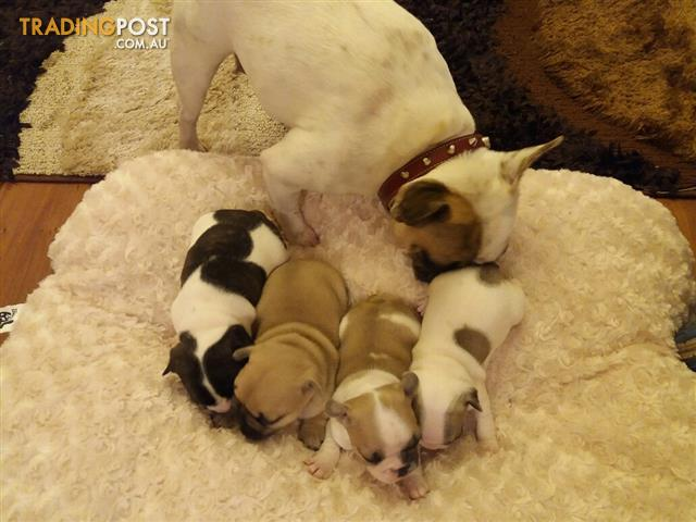 FrenchBulldog puppies purebred