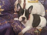 FrenchBulldog puppies purebred on Main