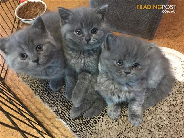 PUREBRED British shorthair & longhair kittens can deliver as far as Werribee
