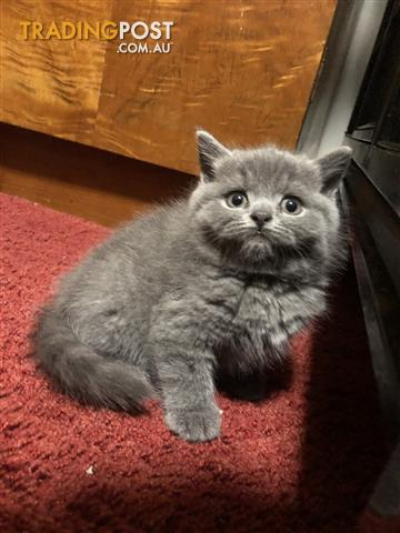 PUREBRED British Shorthair Kitoneers! READY 22nd Jan Can deliver as far as Werribee