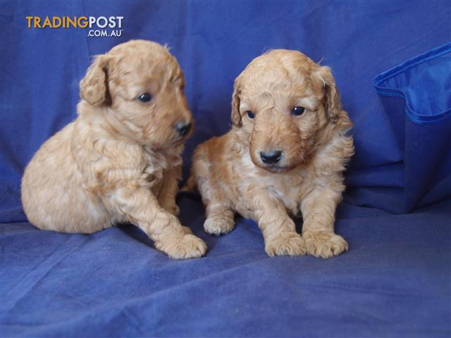 Purebred toy poodle puppies, male & female
