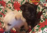 Australian Terrier x Schipperke  Male & Female