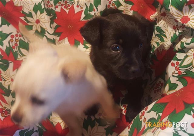 Australian Terrier x Schipperke  Male & Female
