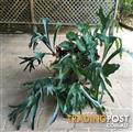 Elkhorn Plants