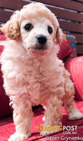 White female Toy Poodle purebreed