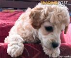 White male Toy Poodle purebreed