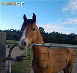 Find horses for sale in Australia