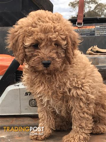Toy Cavoodle Puppies