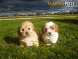 CAVOODLE PUPS