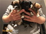 Chihuahua Puppies - Pure Breed