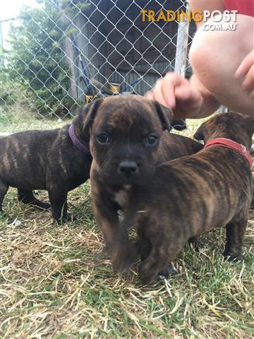 Staffy puppies