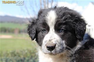 Find Border Collie puppies for sale in Australia