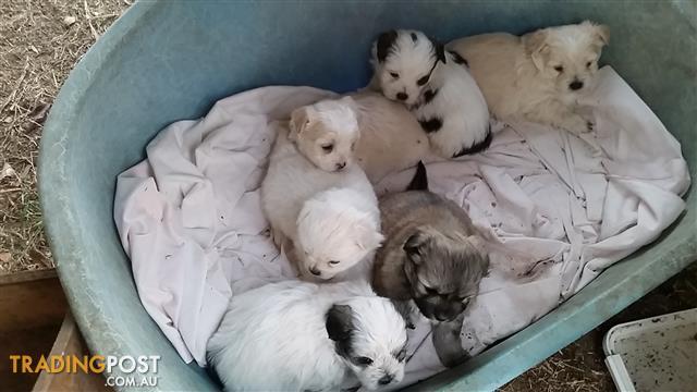 Adorable Schmoodle pups