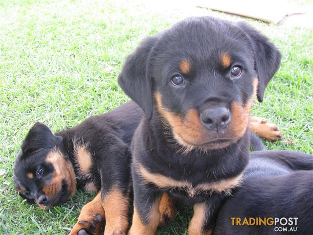 champion line rottweiler puppy pure bred - 1 PUP available
