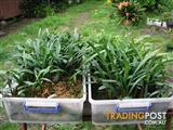 ORANGE CLIVIA MINIATA SEEDLINGS – BULK PURCHASE (2 Y.O.) - QTY 50 FOR $275 (EB10 SEEDLINGS)