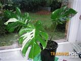 RARE VARIEGATED MONSTERA - PREMIUM QUALITY PLANT - $550.00 (EB16VAR)
