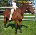 Stock Horse Mare for Beginner
