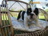 British Bulldog female pup with full pedigree papers (Ready to go today)
